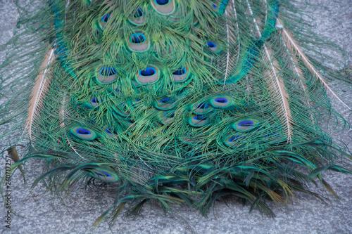 Obraz na plátně  Macro de plumas del  pavo real común o Pavo cristatus