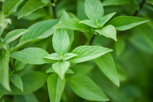 Fresh Basil Leaves Plant Tree On Nature Background / Asian Thai Green Basil Leaf