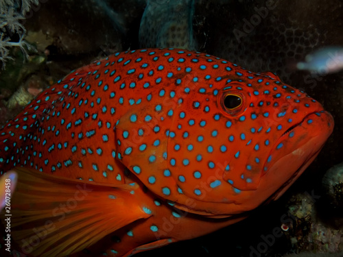 Obraz na plátne Coral Hind Grouper (cephalopholis miniata)