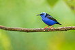 Red-legged honeycreeper (Cyanerpes cyaneus) is a small songbird species in the tanager family (Thraupidae). It is found in the tropical New World from southern Mexico south to Peru