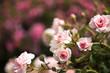 Miniröschen mit Hintergrund pink