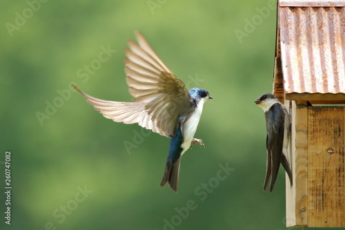 Photo  A pair of Tree Swallows are busy feeding their nestlings.