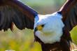 Adler in Anflug