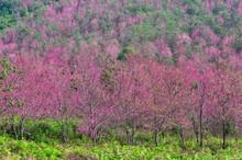 Beautiful Cherry Blossom.