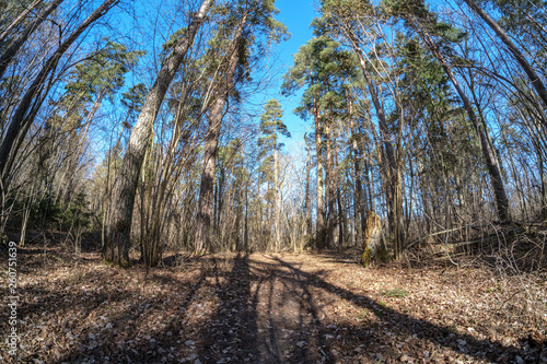 Fotografie, Obraz  fisheye lens distorted view of forest in sunny spring day