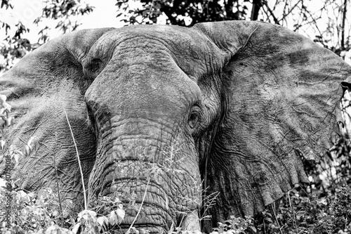 Photo  Portrait Elephant in Queens Elizaberth