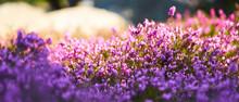 Common Heather In Blossom