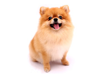 Pomeranian Dog On A White Back...