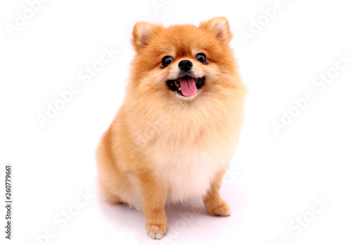 Foto Pomeranian dog on a white background.