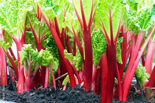 Obraz stems of red rhubarb - fototapety do salonu