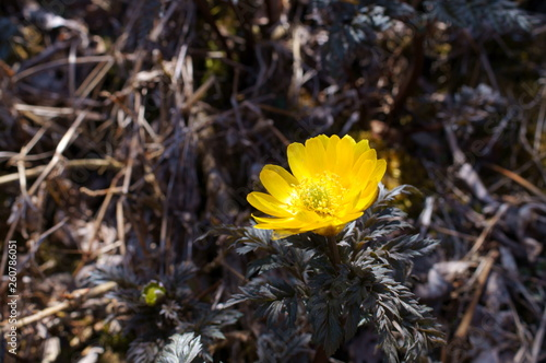 Photo Far East Amur adonis