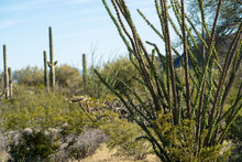 Close Up Of Ocotillo Leafing S...