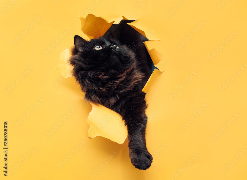 Fototapety, obrazy: Funny black cat ripped yellow paper and looks up. Copy space. The concept of mixed breed and fluffy wool.