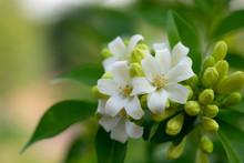 White Flower In The Natural Background Beautiful.Orange Jasmine