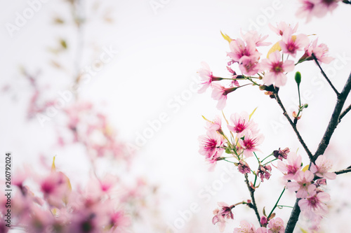 Tuinposter Magnolia Close up of sakura flower , cherry blossom, as a background with copy space with pastel tone