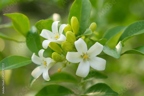 фотография White flower in the natural background beautiful.Orange jasmine