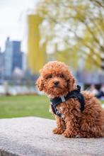 Toypoodle Puppy Portrait In Nature