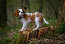 Blenheim Cavalier King Charles...