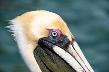 Extreme Close Up Of Pelican Head With Green Water Background