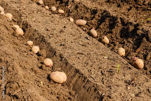 Photo Kartoffelreihen