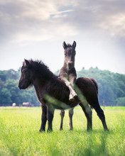 Two Little Shetland Pony Foals Playing In The Field