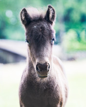 A Young Shetland Pony Foal In ...