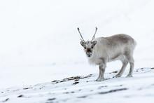 Svalbard Reindeers In Their Ow...