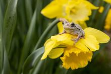 Northern Gray Tree Frog On A B...