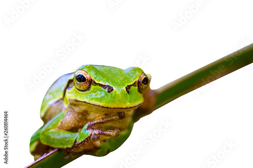 Tuinposter Kikker Green frog. Isolated frog and branch. Tree frog. White background.