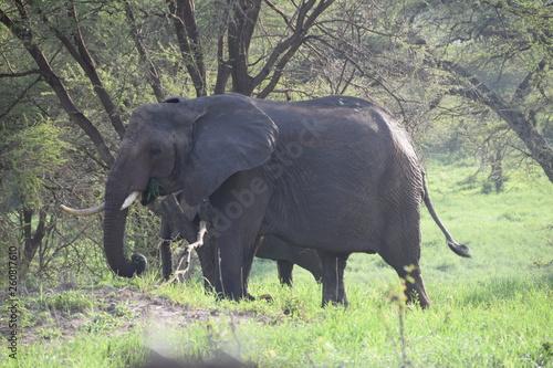 Photo  elephant and calf