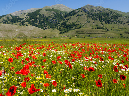 spring in the Matese mountains in Italy, field of poppies and daisies flowers, on the green meadow in the uncontaminated nature #260820801