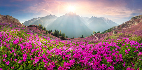 Alpine rhododendrons on the mountain fields of Chamonix