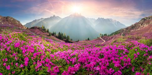 Alpejskie rododendrony na górskich polach Chamonix