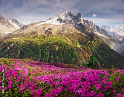 Papiers peints Gris traffic Alpine rhododendrons on the mountain fields of Chamonix