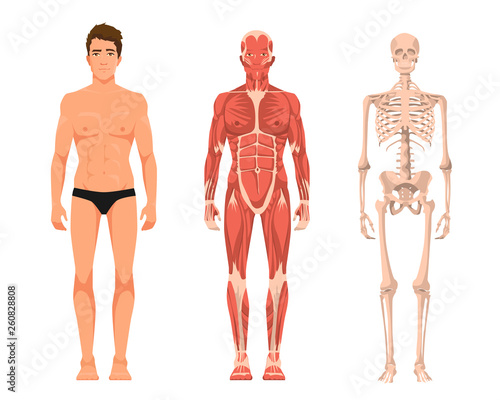 Fotomural Vector illustration of man anatomy