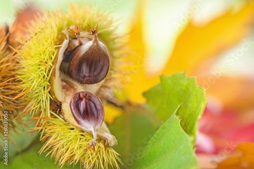 Fototapeta  Geöffnete Fruchthülle von Edelkastanie