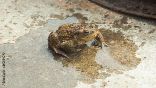 Fotografia  wet frog in the nature