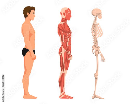 Fotografie, Obraz  Vector illustration of man anatomy