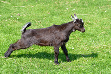 Juvenile Brown Goat (Capra Aegagrus Hircus) On Grass And Stretching Attitude Viewed From Profile