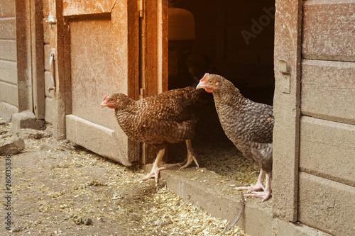 La pose en embrasure Poules élevage fermier de coucous de Rennes