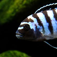Colorful African Cichlid Mbuna Fish From Malawi Lake In Aquarium