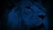 Big Lion Looking Around At Night