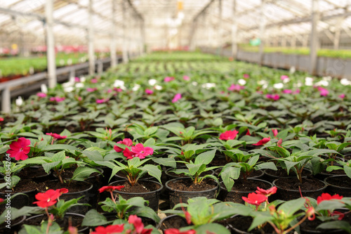 Many blooming flowers in greenhouse. Home gardening Wallpaper Mural