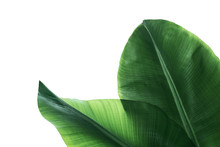Fresh Green Banana Leaves On W...