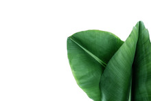 Fresh Green Banana Leaves On W...