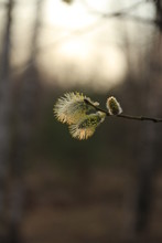 Blooming Twig Of Willow Illuminated By Sunlight.