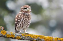 Little Owl (Actene Noctua)