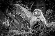 Tired Monkey At Monkey Park Japan