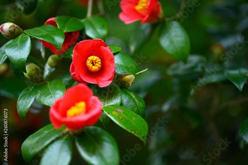 Papel de parede 椿の花