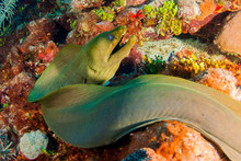 A Green Moray Eel Is Swimming Across The Reef Out In The Open. This Predator Can Be Found In Tropical Waters And This One Was Shot In Grand Cayman Deep Beneath The Surface Of The Water